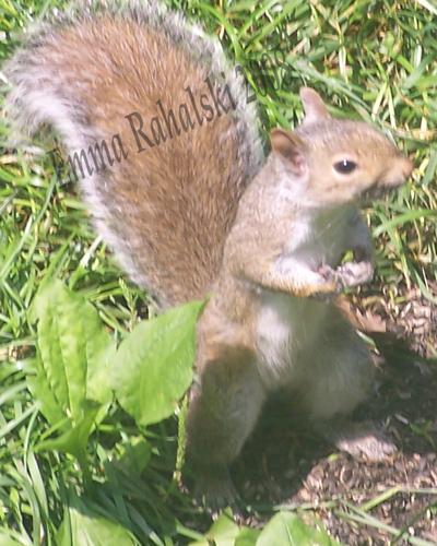 ems squirrel 80dpi